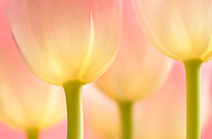Warm Your Soul (brian.pipe) Tags: nikon z6 105 vr micro macro tulips