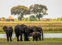 Elephants on Parade (1 of 2) (selvagedavid38) Tags: elehpant wildlife safari river chobe africa botswana trunk ears herd