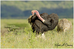 Preening at Sunrise! (MAC's Wild Pixels) Tags: preeningatsunrise ostrich commonostrich struthiocamelus bird birder birdwatcher birdlife birdperfect birdlifephotography birdsofeastafrica avian plumage feathers ornithology animal wildlife africanwildlife wildafrica wildanimal wildbird wildlifephotography safari gamedrive sunrise goldenhour goldenlight outdoors outofafrica nature naturephotography beautifulbird colourfulbird nairobinationalpark nairobi kenya macswildpixels wildpixelssafaris coth alittlebeauty natureinfocusgroup naturethroughthelens ngc