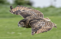 In flight (David Feuerhelm) Tags: owl wings feathers eyes movement nikkor flying bokeh nikon d750 70300mmf4556