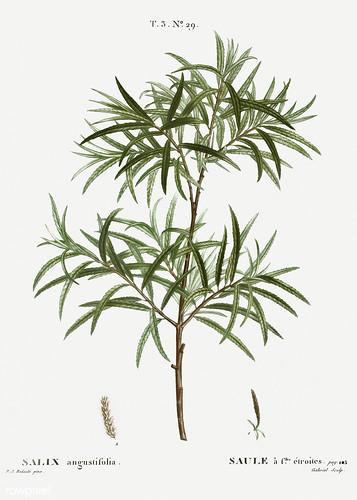 Bitter willow (Salix angustifolia) illustration from Traité des