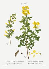 1. Sessile-leaved cytisus (Cytisus sessilifolius) 2. Common cyti