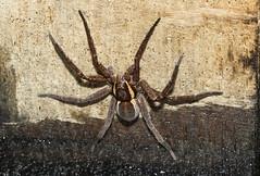 Dolomedes fimbriatus (Raft spider - explored) (Anne Richardson) Tags: dolomedesfimbriatus raftspider spider arachnid arne dorset wildlife nature macro macrophotography sigma canon