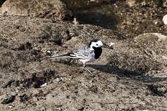 Ballerina 87 (simonealbini) Tags: digapanperduto sommalombardo maddalena fiume ticino uccelliacquatici bird anatre svasso anatramandarina animali uccelli acqua sonya7iii sigma150600c