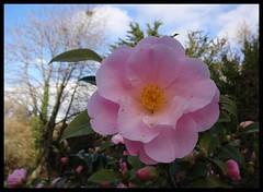 Pink Camellia Flower (Jane L Edwards) Tags: flickrsbest pinkcamellia pink camellia