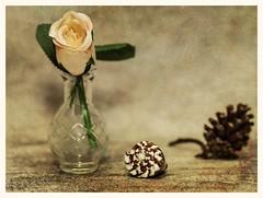 Still Life (N.the.Kudzu) Tags: tabletop stilllife glass vase flower rose seashells pine cone canondslr meike 85mmf28 macro lens lightroom preset photoscape texture frame home