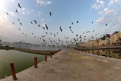 0934 Pushkar Morning IV (Hrvoje Simich - gaZZda) Tags: outdoors sky clouds city buildings animals birds water lake morning india pushkar asia travel nikon nikond750 samyang1228 gazzda hrvojesimich