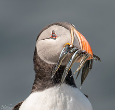 Great Catch (Steve (Hooky) Waddingham) Tags: stevenwaddinghamphotography sea fish farnes animal flight frampton bird british countryside coast wild wildlife water wader planet