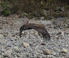 Himalayan Vulture 1