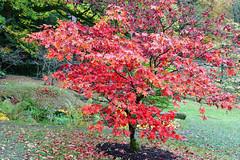 Autumn Acer (Bri_J) Tags: chatsworthhousegardens bakewell derbyshire uk chatsworthhouse gardens chatsworth nikon d7500 autumn acer