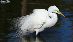 """Yes I'm high-maintenance, but so is a Lamborghini."" (Shannon Rose O'Shea) Tags: shannonroseoshea shannonosheawildlifephotography shannonoshea shannon greategret egret ardeaalba bird beak feathers wings white lores breedingplumage plumage plumes water wading wadingbird alligatorbreedingmarshandwadingbirdrookery gatorland orlando florida gatorlandbirdrookery rookery outdoors outdoor outside colorful colourful flickr wwwflickrcomphotosshannonroseoshea smugmug nature wildlife waterfowl art photo photography photograph wild wildlifephotography wildlifephotographer wildlifephotograph camera canon canoneos80d canon80d canon100400mm14556lisiiusm eos80d eos 80d canon80d100400mmusmii 2019 girlphotographer femalephotographer womanphotographer shootlikeagirl shootwithacamera throughherlens closeup close bluewater fluffy"
