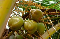 Noix de Coco... (gabriel.gallozzi) Tags: coconuts coqueiro noix de coco arbre tree arvore salvador bahia brasil brésil brazil