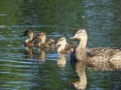 Reflections (Ƹ̴Ӂ̴Ʒ Liz Ƹ̴Ӂ̴Ʒ) Tags: crazytuesday theme reflections patos duck
