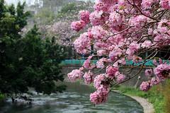 臺中市, 臺灣 (廖法蘭克) Tags: taiwan taichung 臺灣 臺中 中興大學 花 weekend holiday relax beautiful canon canon6d canonef70200mmf4lisusm 洋紅風鈴木