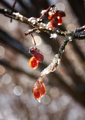 Burning Bush Berries (Dan Haug) Tags: burningbush euonymusalatus berries glazing bokeh newyears january1st 2019 macro greely morning sunlight fujifilm fujixseries xt3 xf80mmf28rlmoiswrmacro xf80mm