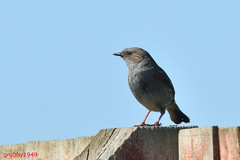 Dunnock (Prunella modularis) (grubby1949) Tags: prunellamodularis dunnock birdwatcher bird feather garden beak bersted unitedkingdom westsussex