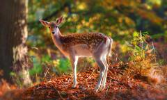 Autumn Deer (saundersfay) Tags: deer autumn golden glow woods