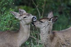Time for a bath (wynner3) Tags: nikon nikond7000 nikkor200500mmf56 california muledeer deer bayarea wildlife blacktaileddeer