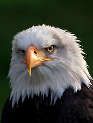 Weißkopfseeadler im Falkenhof Wisentgehege Springe (uwe125) Tags: adler weiskopfseeadler portrait greifvögel vögel tiere tierportrait springe wisentgehege baldeagle