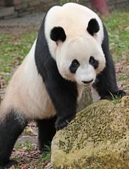 giant panda Ouwehands 094A0391 (j.a.kok) Tags: animal bear beer bamboebeer bamboobear panda giantpanda grotepanda china asia azie mammal zoogdier dier ouwehands