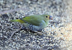 Green-backed Twinspot (Larry Gridley) Tags: greenbacked twinspot