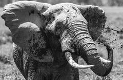 _A120148 (BergsPix) Tags: elephants africa kenya safari amboseli masaai mara samburu tusks mammals