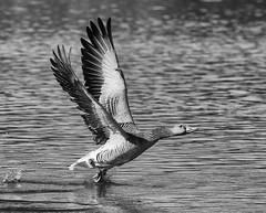 Walking on water (Duevel) Tags: goose gans water wings vleugels veren feathers