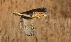 Bittern_5469 (marsh and moor) Tags: nikon d850 nikkor afs200500f56 wildlife nature bird bittern rspbdungeness