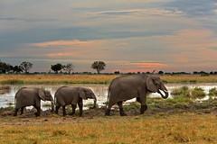 Kwando Lagoon elephants (Kingfisher Safaris) Tags: 2012 abenteuer adventure africa africanelephant afrika animals bigfive botswana elefant elephantidae endangeredspecies gefährdetetierart herbivore kwando lagoon linyanti loxodontaafricana mammals natur nature pflanzenfresser redlist roteliste safari säugetier tiere travel urlaub wildlife