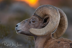 Sunrise With Bighorns (~ Bob ~) Tags: amazingwildlife bighorn ram sheep wildlife majestic amazing nature d500 statepark dessertbighornsheep nevada feisol mammal valleyoffire nikon