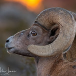 Sunrise With Bighorns thumbnail