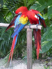 Cozumel, Mexico, Day 10 -- Caribbean Cruise Vacation, Mayan Chocolate Factory, Pair of Red Macaw Parrots (Mary Warren 12.4+ Million Views) Tags: cozumelmexico mayanchocolatefactory nature fauna bird red macaw parrot coth