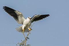 Black-shouldered Kite. (Vikas.B.Chavan) Tags: blackshoulderedkite elanuscaeruleus nikond7100 afsnikkor300mmf4difed nikontc17eii