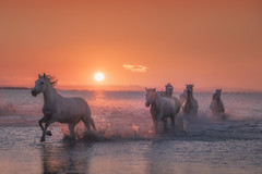 See the Horses Run (Iurie Belegurschi www.iceland-photo-tours.com) Tags: adventure beautiful beach coastal daytours dreamscape earth enchanting equine equines equestrian fineart fineartlandscape fineartphotography fineartphotos guidedphotographyworkshops guidedphotographytour horse horses horsesrunning icelandphototours iuriebelegurschi landscape landscapephoto landscapephotography landscapes landscapephotos nature outdoor outdoors orange ocean phototours phototour summer sky sunset seascape sea tours travel travelphotography view workshop workshops water camargue france french southernfrance europe european whitehorses