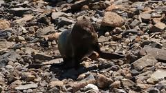 Fur seal waddling up the shore (Victor Engmark) Tags: taiaroahead newzealand outdoor seal furseal animal mammal
