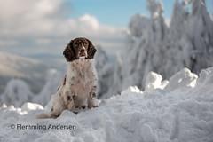 snowboy (The Papa'razzi of dogs) Tags: zigzag spaniel landscape pet nature dog outdoor hund cocker snow animal trojanovice moraviansilesianregion czechrepublic cz