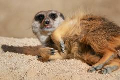 Sunshine and a solitary beach (FocusPocus Photography) Tags: erdmännchen meerkat tier animal zoo wilhelma faul lazy
