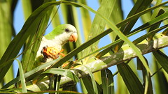 Caturrita - Monk Parakeet (sileneandrade10) Tags: sileneandrade pantanal caturrita myiopsittamonachus monkparakeet psittacidae psittaciformes periquito ave pássaro ´folhagem verde natureza freebirds