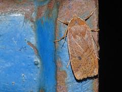 Chestnut (Conistra vaccinii) (Julian Hodgson) Tags: chestnut conistravaccinii lepidoptera noctuidae cuculliinae insect moth monkswood nationalnaturereserve sawtry cambridgeshire unitedkingdom sonydschx400v raynoxdcr150