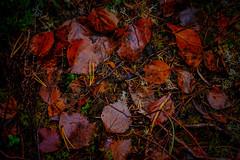 Red forest floor (Klas-Herman Lundgren) Tags: dalarna sweden gimmen autumn hšst forest trees skog october red leaves lšv hšstlšv ršda sifferbo se höst löv höstlöv röda