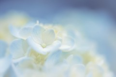 A Piece Of Me (Anna Kwa) Tags: hydrangea flowers macro dof bokeh blue soft annakwa nikon d750 1050mmf28 my piece unfinished always seeing heart soul throughmylens life journey memories love fate destiny clarity skylargrey