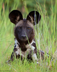 African Wild Dog (leendert3) Tags: leonmolenaar wildlife southafrica krugernationalpark nature mammals africanwilddog ngc npc