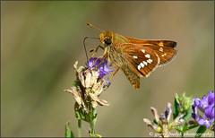 Leonard's Skipper (photogud) Tags: butterfly skipper nikon d800e