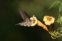 All In (Diane Marshman) Tags: rubythroated hummingbird hummer small bird ruby throated green upper back head tail feathers dark wings long black beak action motion yellow trumpet vine shrub bush flowers flower blossom summer blooms blooming landscape leaves pa pennsylvania nature wildlife birding