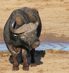 African Buffalo (Syncerus caffer) old bull ... (berniedup) Tags: africanbuffalo synceruscaffer addo buffalo taxonomy:binomial=synceruscaffer
