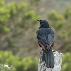 JMR-Ornitho4-237 (jmr_87) Tags: afriquedusud lecap oiseaux onychognathusmorio ornithologie redwingedstarling rufipennemorio lieux