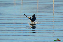 A-LUR_3800 (OrNeSsInA) Tags: aly passignano panicale natura panorami campagma campagna landescape trasimeno nikon canon airone airon cormorano spettacolo birdwatching albero cielo animale mare acqua uccello
