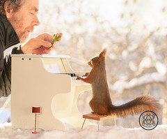 Red squirrel standing behind a piano and a person with a flower (Geert Weggen) Tags: squirrel red animal backgrounds bright cheerful close color concepts conservation culinary cute damage day earth environment environmental equipment love valentine flower winter snow photo bouquet model person human man dianthus music piano concert classic opera bispgården jämtland sweden geert weggen hardeko ragunda