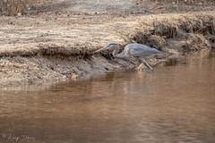 FM5A0304 (Kemp Davis) Tags: wildlife nature aquaticbird greatblueheron