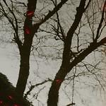 Koi and Reflection of Trees thumbnail